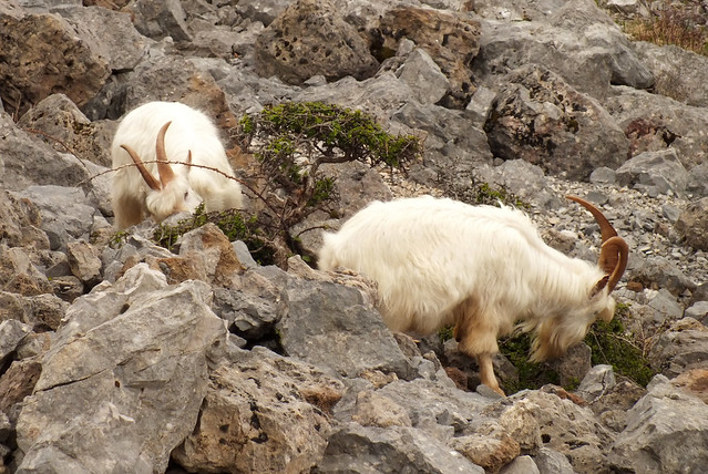 Great orme kashmiri goats (Capra aegagrus hircus)