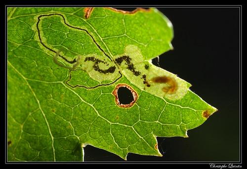 Stigmella hybnerella mine on Crataegus monogyna