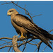 Black Kite - Photo (c) Geoff Whalan, some rights reserved (CC BY-NC-ND)