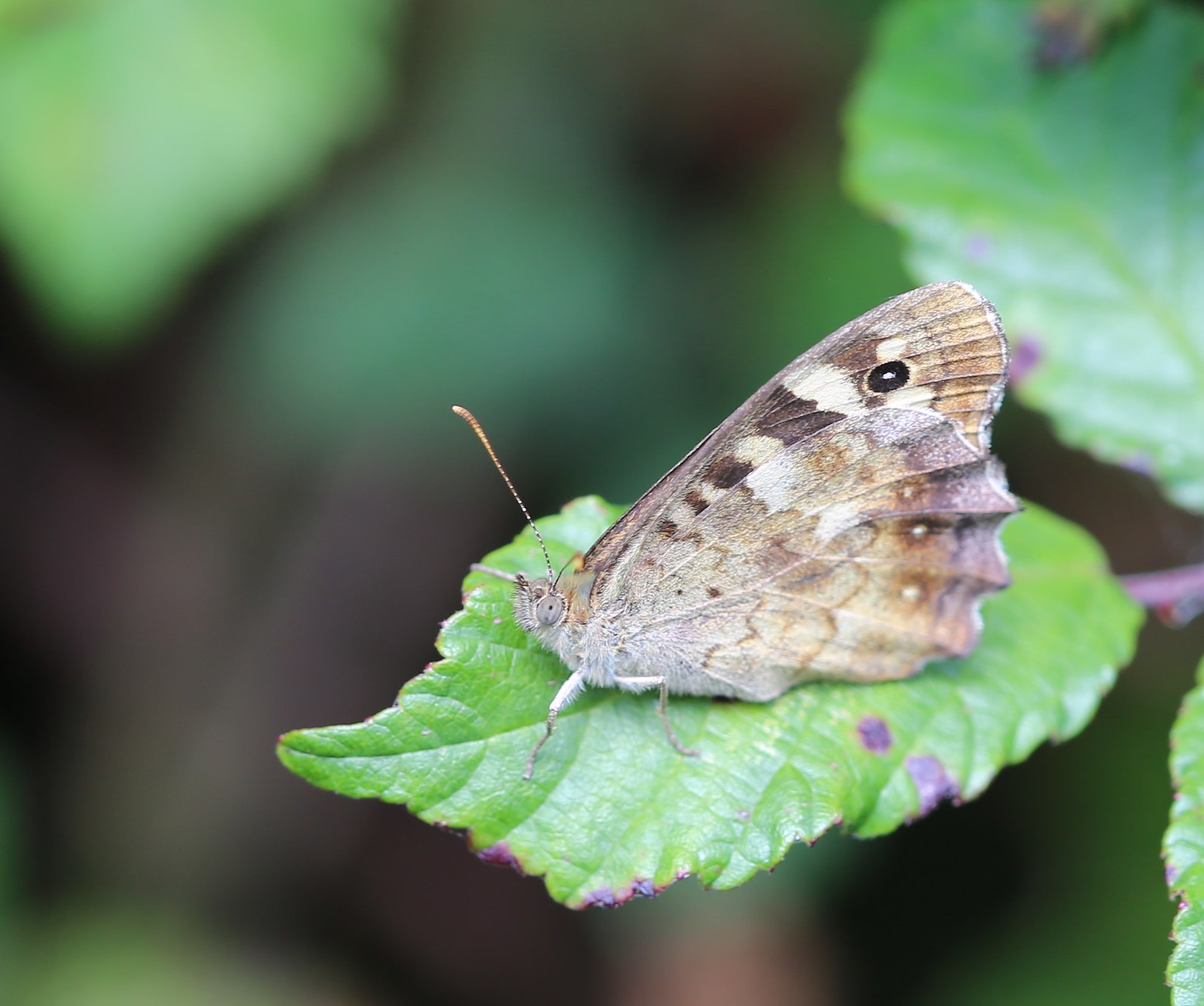 Speckled Wood on Bramble - near Pulborough Pararge aegeria