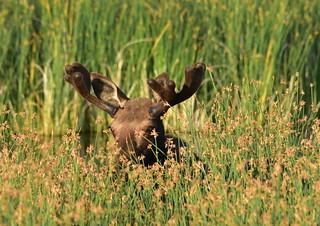 Moose on Seedskadee National Wildlife Refuge | by USFWS Mountain Prairie