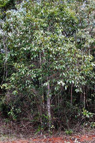 Ocotea aciphylla