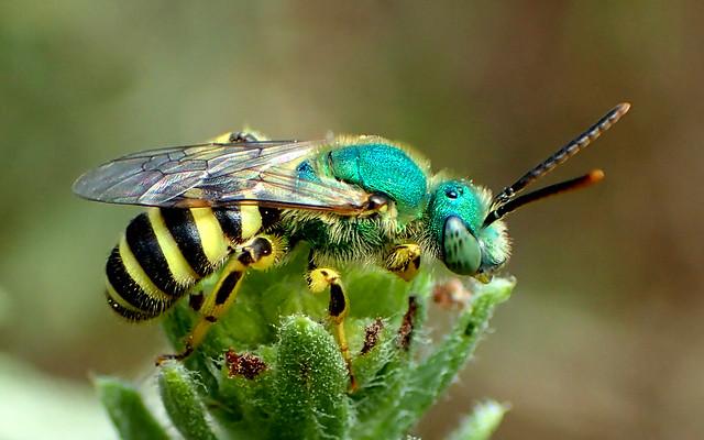 Metallic Green Sweat Bee (Agapostemon texanus)