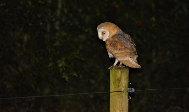 Wild Irish Barn Owl