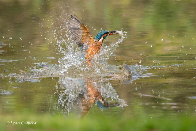 Kingfisher (Alcedo atthis) - Success for both of us 500_2119.jpg