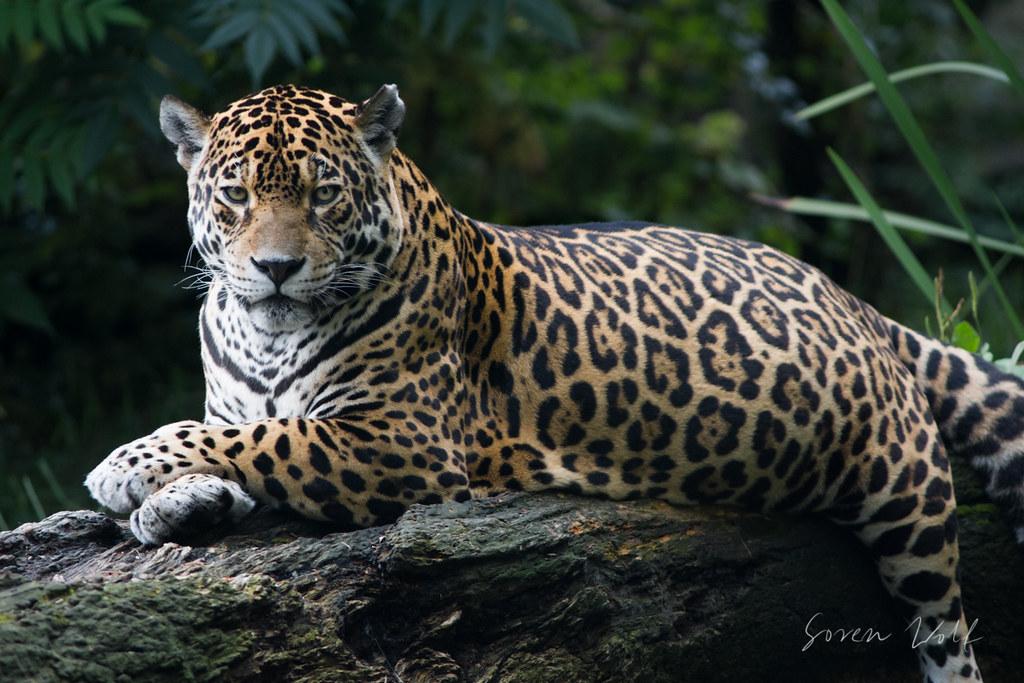 Fat Jaguar Probably She Is Pregnant Soren Wolf Flickr