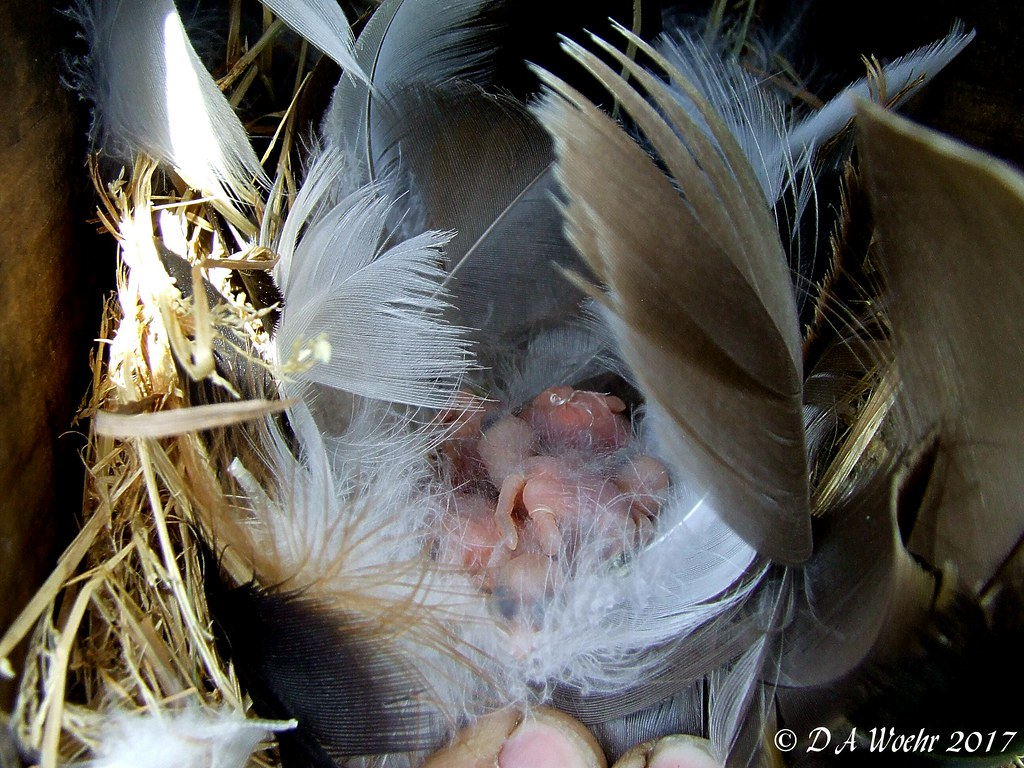 Tree Swallow Hatchlings