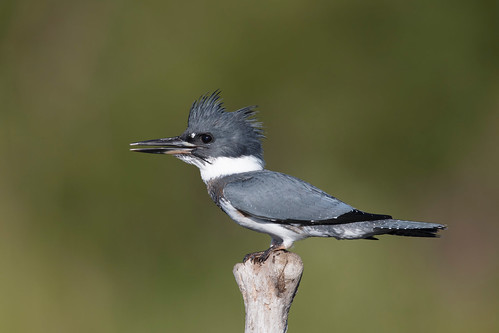 Martin-pêcheur d'Amérique / Belted Kingfisher | by Fpoitras