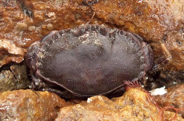 Edible crab (Cancer pagurus) juvenile