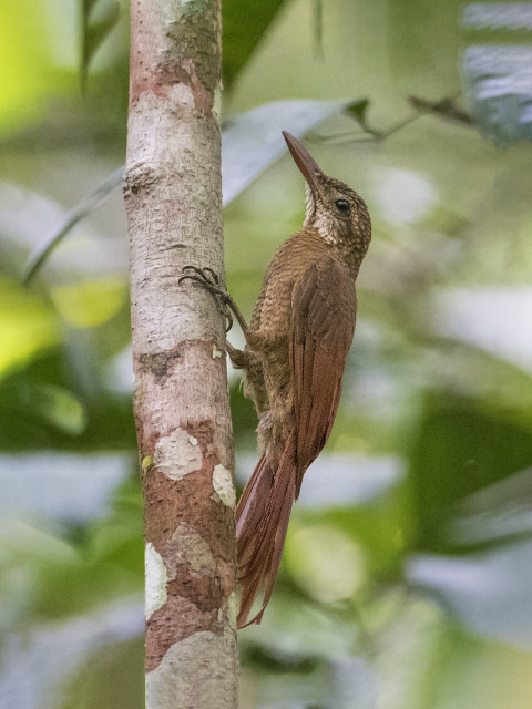 Arapaçu-barrado (Dendrocolaptes certhia)
