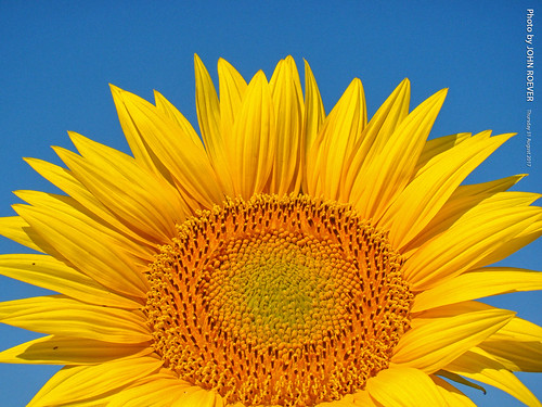 grinterfarms sunflower sunflowers sunflowerfield sunflowerfields kansas leavenworthcounty landscape flower flowers wildflower wildflowers 2017 august august2017 morning bluesky blueskies color colour colors colours nature usa