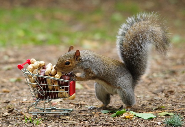 squirrel with shopping cart full of nuts. (8)