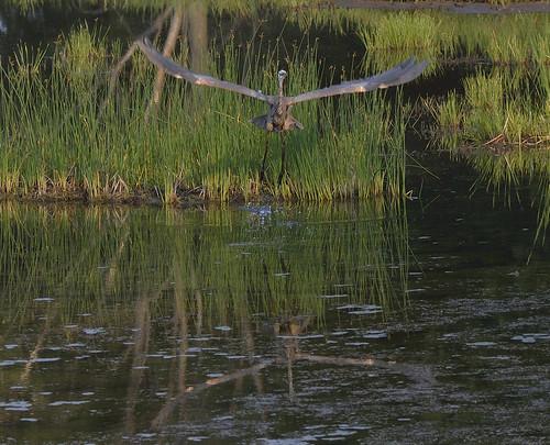 blue heron petrie island 13072015_DSC8043 | by David Villeneuve