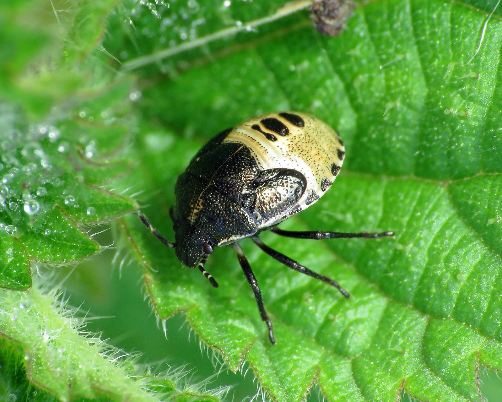 Woundworth Shieldbug - Eysarcoris venustissimus