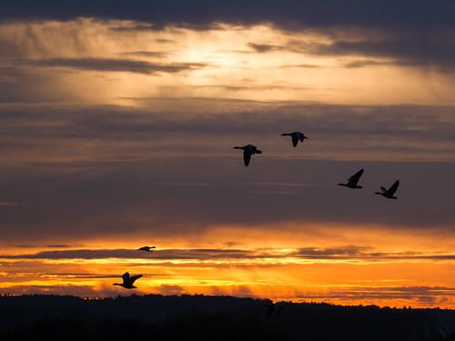 birdinflight birds canonef100400mmf4556lisiiusm canoneos7d flyingbird graugänse greylaggoose orange rot sonnenuntergang sunset vogelfliegend vögel wetterundlicht winzlar wolken landschaft landscape