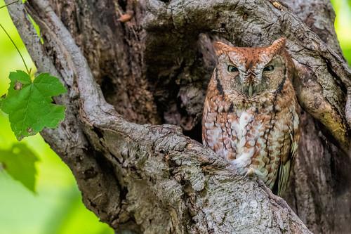 redmorph owl nature eyes wildlife tree cavity easternscreechowl bird raptor nikon d500 screechowl