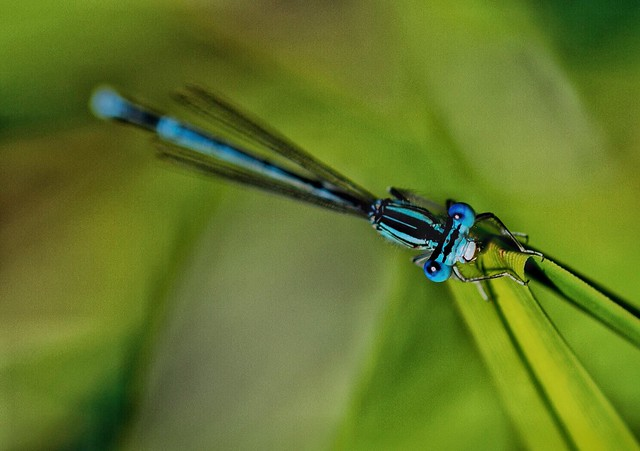 The blue of a dragonfly