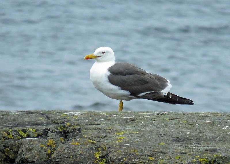 Lesser Black-backed Gull - Larus fuscus