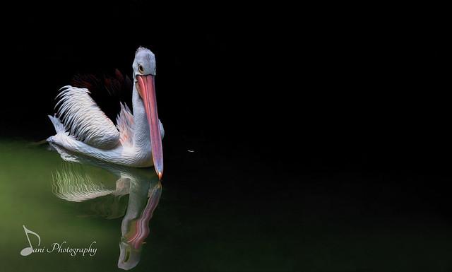 Pelican in Green Reflection