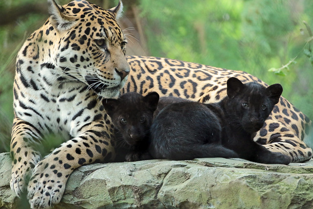 jaguar Rica with cubs artis BB2A7519