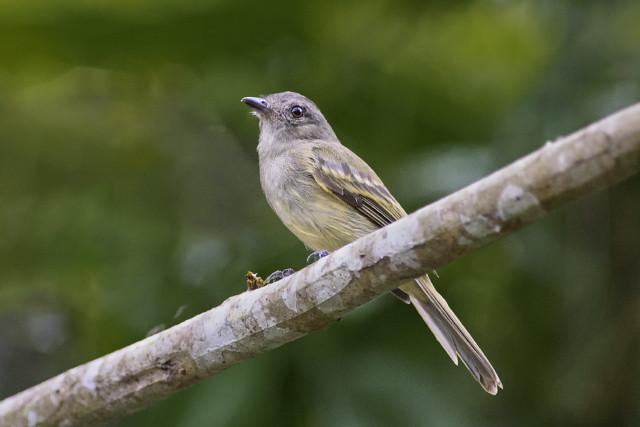 Guaracava-de-penacho-amarelo (Myiopagis flavivertex)
