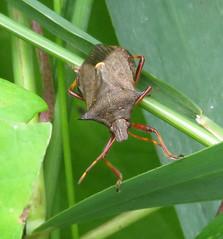 Spiked Shieldbug