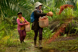 Oil Palm work | by CIFOR