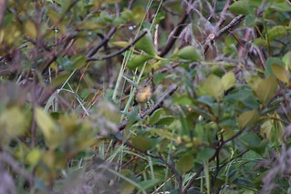 doc shot recently fledged Common Yellowthroat | by angelagranchelli