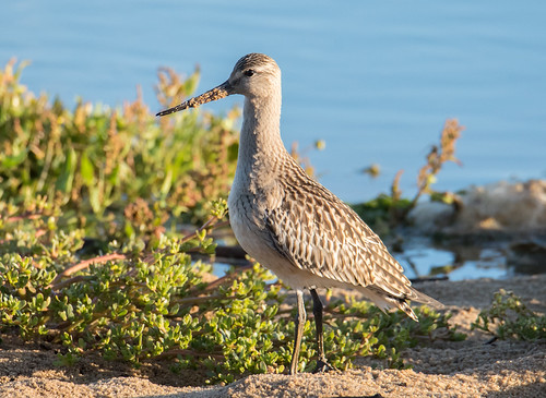 Fuselo | Limosa lapponica | Bar Tailed Godwit | by Ruiworld
