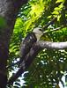 Sulawesi hawk-eagle, juvenile (Nisaetus lanceolatus), Tangkoko National Park by Niall Corbet