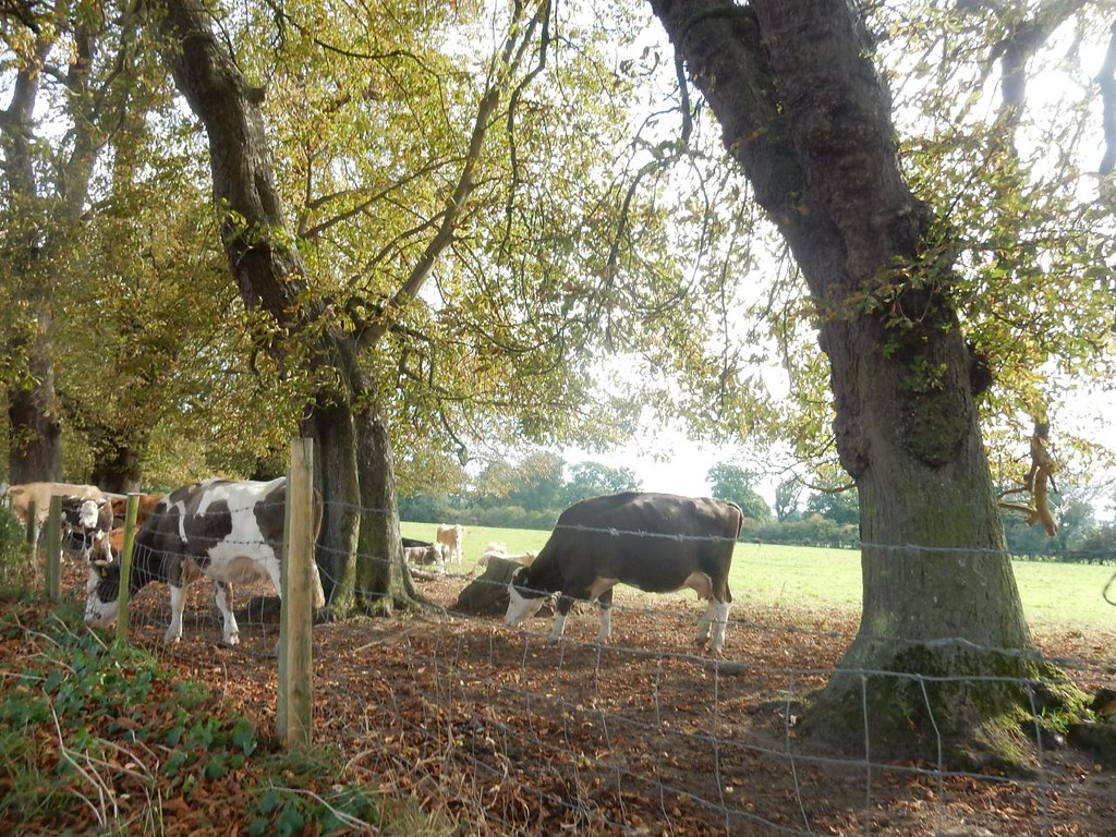 Cows Dorking to Reigate