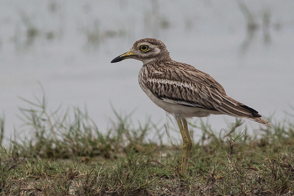 Indian Thick-knee