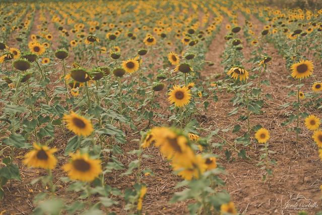 Endless sunflower fields.