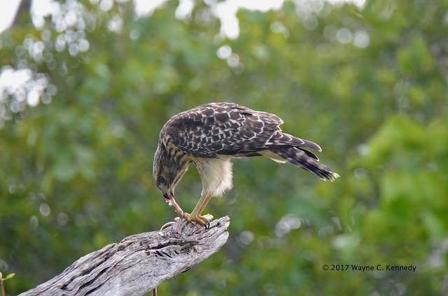 Red-shouldered Hawk eating a rat snake
