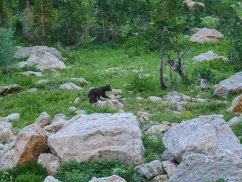 Adolescent black bear! | by snackronym