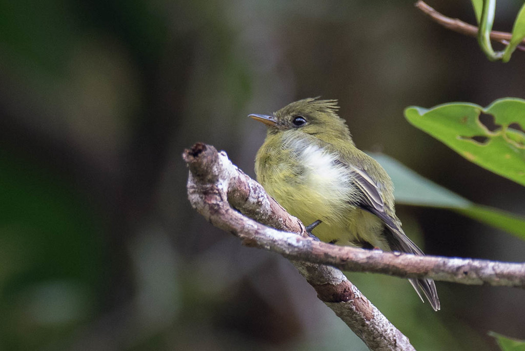 Sulfur-rumped Flycatcher D4A6317.jpg