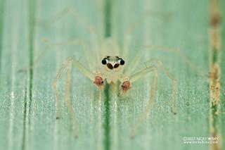 Jumping spider (Onomastus danum) - DSC_9877