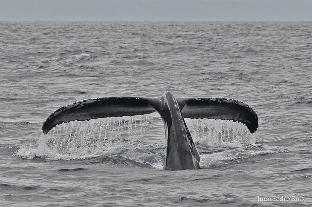 Baleia de Bossa - Yubarta - Humback Whale
