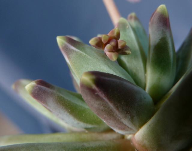 Pachyphytum 'Diamond'
