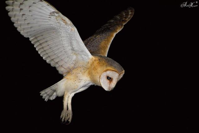 Coruja-das-torres, Barn Owl (Tyto alba) - em Liberdade [in Wild]