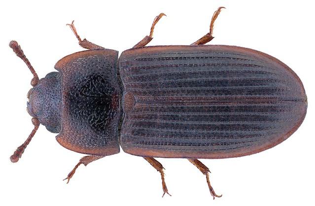 Lophocateres pusillus (Klug 1832)