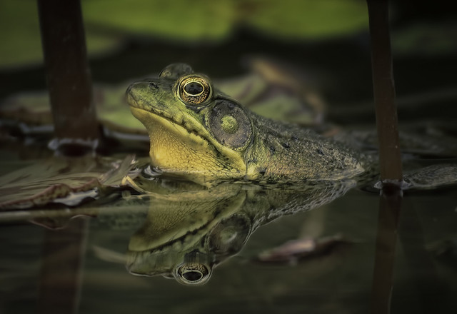 Bullfrog Reflecting