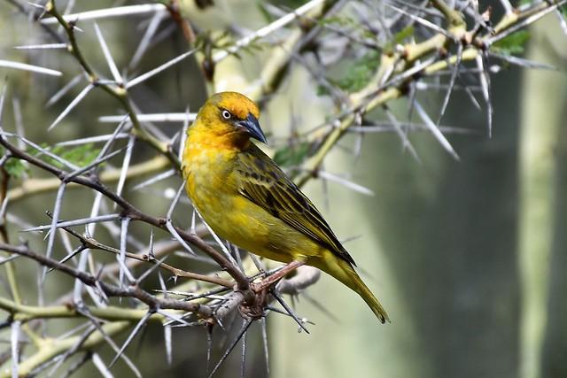 Angry Bird (Cape Weaver)