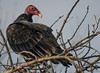 Turkey Vulture (Cathartes aura) by Dude in CA