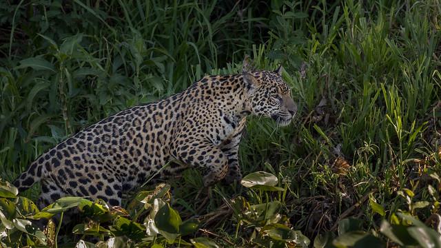 Jaguar in Pantanal (5)