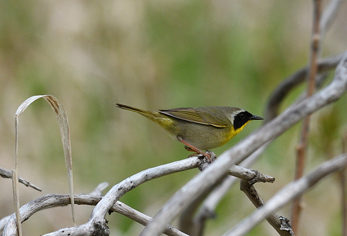 common yellow throat petrie island 21052016 DSC_1169 | by David Villeneuve