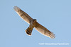 Cooper's Hawk (Accipiter cooperii),  juvenile DSC_2909 by fotosynthesys