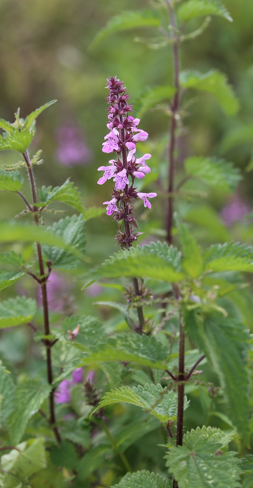 Marsh Woundwort - Pulborought to Petworth