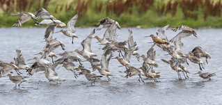 Black-tailed & Bar-tailed Godwit | by Paul..A