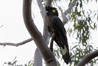 Yellow-tailed black cockatoo | by dmmaus